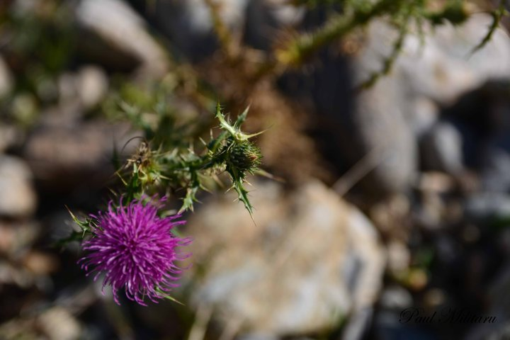 purple flower of thistle