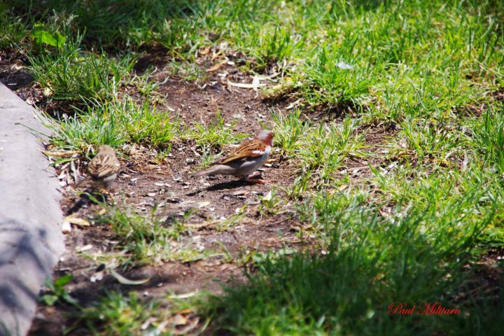 sparrow looking food